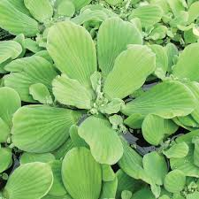 images of plants water lettuce for sale water lettuce plant the pond guy