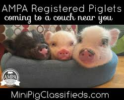 blog american mini pig association