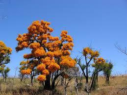 australian christmas the australian christmas tree nuytsia floribunda and its