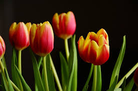 Spring Flower Pictures Tulips Free Pictures On Pixabay