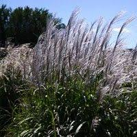 39 best ornamental grass varieties images on
