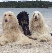 does an afghan hound shed 117 best dogs afghan hounds images on pinterest