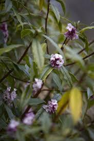 Fragrant Plants 7 Fragrant Favorites Winter Flowering Scented Shrubs Gardenista