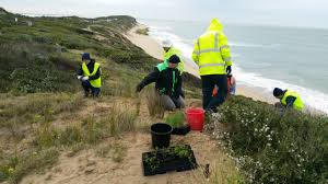 Vegetaion images Rare species planted on 13th beach dunes barwon coast committee jpg
