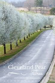 11 best trees images on pinterest pear trees garden trees and