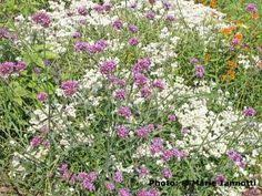 12 Best Annual Flowers For by 12 Best Annual Flowers For A Sunny Site Cosmos Flowers Flowers