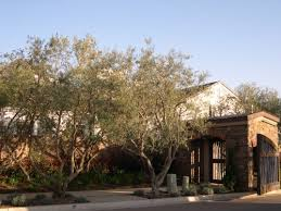 fruitless olive trees for california landscapes and gardens cse