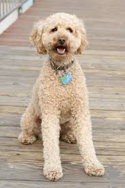 Do Cockapoo Dogs Shed A Lot by Dog Breed Selector What Dog Should I Get The Happy Puppy Site