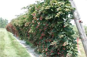 Trellis For Raspberries Trellis Systems Nc State Extension Publications
