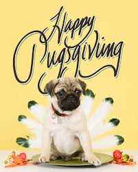 adorable photos of a pug celebrating pugsgiving world warotter