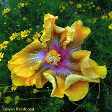 Yellow Hibiscus Flowers - 58 best plants hibiscus images on pinterest hibiscus flowers