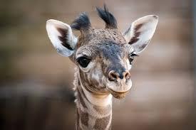 houston zoo u0027s new giraffe finally has name houston chronicle
