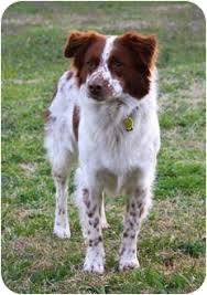 australian shepherd virginia oliver adopted dog for harrisonburg va brittany
