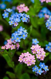 Spring Flower Pictures Planting Forget Me Not Flowers Forget Me Not Eritrichium