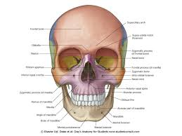 Anatomy Of The Eye Vision Surface Anatomy Of The Eye Eyebrows Divert Sweat From The