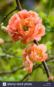 double flowers of the pale orange pink japanese quince