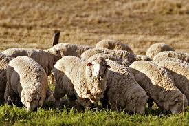 sheep farming wikipedia