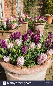 hyacinthus orientalis display in large terracotta pots stock