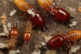 termite small and large soldiers termites are eusocial insects