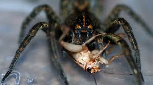 mobugs wolf spiders
