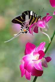swordtail butterfly graphium androcles on orchid photograph by