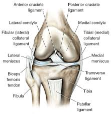 Collateral Ligaments Ankle Kinetic Anatomy 3e Many Ligaments Make Up Knee U0027s Structure