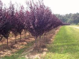 prunus x cerasifera krauter versuvius purpleleaf plum scenic