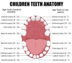 dental tooth anatomy choice image learn human anatomy image