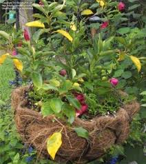 Mandevilla Plant Diseases - garden pests and diseases what is wrong with my mandevilla 1 by