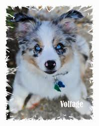 australian shepherd dog for sale wisdom kennels new orleans louisiana miniature australian