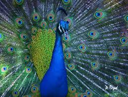 peacock mattie bryant photography