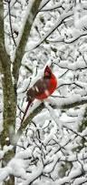 294 best cardinals images on pinterest cardinal birds beautiful