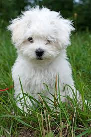 bichon frise vs yorkie bolognese dog breed information pictures characteristics u0026 facts