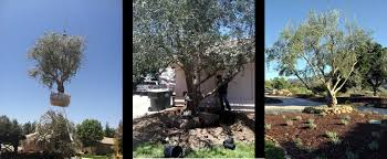 Tree San Diego Olive Trees For Sale San Diego Olive Trees 4 Sale San Diego Ca