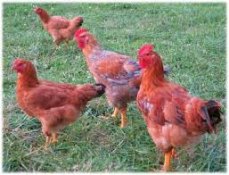 Backyard Chickens Magazine Stepping Up To Production For A Small Broiler Market