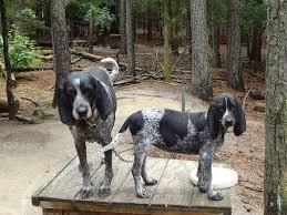 bluetick coonhound west virginia bluetick coonhound puppies at bluetick 1 kennels blueticks