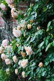 climbing rose gallery