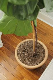 Fiddle Leaf Fig Tree Care by How To Keep A Fiddle Leaf Fig Alive And Happy