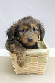 Adorable Long Haired Dachshund Puppy In A Wicker Basket Stock