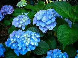 hydrangea flowers nikko blue hydrangea for sale online the tree center