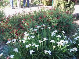 california native drought tolerant plants ellen u0027s picks dramatic and drought tolerant plants uc davis