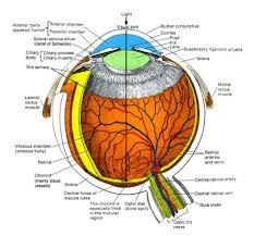 What Structure Of The Eye Focuses Light On The Retina Vision