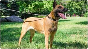 belgian sheepdog malinois belgian malinois in studded leather collar for dog walking youtube