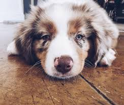 australian shepherd pictures 16 pictures that perfectly sum up what it u0027s like to own an