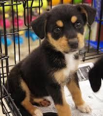 australian shepherd husky mix for sale the 25 best beagle mix ideas on pinterest beagle mix puppies