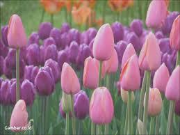 wallpaper bunga tulip download gambar collection wallpaper bunga tulip merah gambar co id