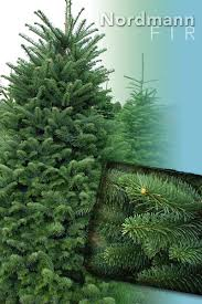 nordmann fir tree christmas trees from stroupe farms