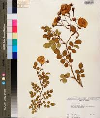 rosa luciae species page apa alabama plant atlas