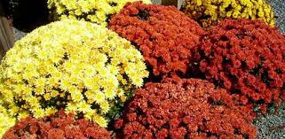 potted mums chrysanthemums fading today u0027s