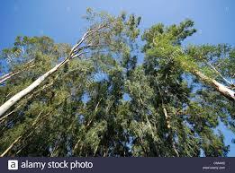 turkey eucalyptus trees eucalyptus globulus stock photo royalty